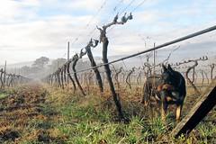 Guardian of the Vines (adamsgc1) Tags: ballandean queensland australia buster codysvineyard grapes vines dog
