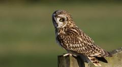 Short-eared owl ~ Asio flammeus (Cosper Wosper) Tags: shortearedowl asioflammeus somersetlevels owl bird raptor