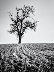 Expecting new Life to come... (Ody on the mount) Tags: anlässe bäume em5ii felder fototour himmel landschaft linien mzuiko6028 omd olympus pflanzen bw fields landscape lines monochrome sw tree