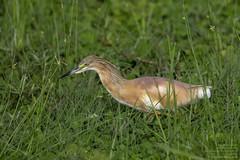 Squacco Heron (Ardeola ralloides) Lake Manyara National Park, Tanzania 2019 (Ricardo Bitran) Tags: ardeolaralloides squaccoheron lakemanyaranationalpark tanzania birdsoftanzania