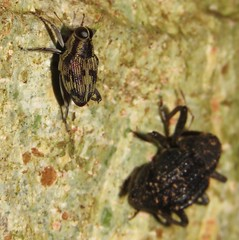 lesser of two weevils (Birdernaturalist) Tags: coleoptera costarica curculionoidea richhoyer