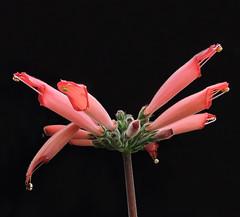 2019-07-17 Sinningia iarae - BG Teplice (beranekp) Tags: czech teplice teplitz botanik botany botanic herbarium herbary herbář flora flower garden garten plant sinningia