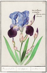 Purple iris in vintage style (Free Public Domain Illustrations by rawpixel) Tags: anselmusboëtiusdeboodt anselmusdeboodt antique art arts artwork bearded beardediris beautiful beauty bloom blossom botanical botany bright bud cc0 colorful creativecommons0 decor decorative delicate design drawing elegant floral flower foliage fresh green historic historical history horticulture illustration iris leaf name natural nature perennial petal plant poster publicdomain purple purpleiris retro vintage violet