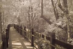 A stroll on the pale side (OzzRod) Tags: pentax k5 fullspectrumconversion ir infrared smcpentaxm35mmf28 hoya25a 590nm walkway forest yulebah glenrock newcastle dailyinapril2019 pentaxart