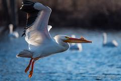20190408-DSC_7353.jpg (GrandView Virtual, LLC - Bill Pohlmann) Tags: bird americanwhitepelican wisconsin wildlife waterfowl stcroixriver northhudsonwi