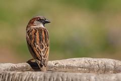 Just another house sparrow :) (Lynn Tweedie) Tags: eos bokeh male tail 7dmarkii missouri eye sigma150600mmf563dgoshsm bird wing beak green canon feathers ngc animal