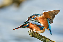 ijsvogel Common Kingfisher (Rob Keulemans) Tags: 2019 ijsvogel nederland wild copyright rob keulemans parend mating