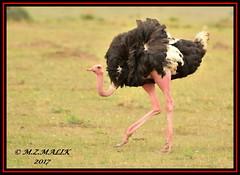 MALE OSTRICH (Struthio camelus)......MASAI MARA......SEPT 2017 (M Z Malik) Tags: nikon d3x 200400mm14afs kenya africa safari wildlife masaimara keekoroklodge exoticafricanwildlife exoticafricanbirds ostrich ngc