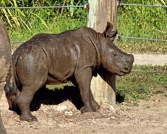 Mini Rhino (Darts5) Tags: zoo lowryparkzoo zootampa rino rhinoceros baby babyrhinoceros 7d2 7dmarkll 7dmarkii 7d2canon ef100400mmlll canon7d2 canon7dmarkii canon7dmarkll canon canonef100400mmlii nature animal