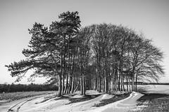 Black and White Clump (stevedewey2000) Tags: salisburyplain wiltshire blackandwhite monochrome desaturated bw landscape spta snow treescape trees sptaeast tokina2035