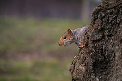 Curious Squirrel Checking Me Out From the Safety of its Tree (John Brighenti) Tags: washington dc districtofcolumbia nationalmall outside outdoors squirrel rodent animal eye nose mouth whiskers bokeh tree bark evening wildlife urban city capital sony alpha a7rii ilce7rm2 sel70200gm zoom gmaster nex ilce emount femount woodland sonyshooter