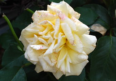 Lobt Gott mit frohem Triebe (amras_de) Tags: rose rosen ruža rosa ruže rozo roos arrosa ruusut rós rózsa rože rozes rozen roser róza trandafir vrtnica rossläktet gül blüte blume flor cvijet kvet blomst flower floro õis lore kukka fleur bláth virág blóm fiore flos žiedas zieds bloem blome kwiat floare ciuri flouer cvet blomma çiçek