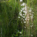 2011-07-22 TEC-3836 Andropogon cf. leucostachyus - E.P. Mallory
