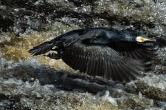 Surging (mond.raymond1904) Tags: cormorant river dodder flight dublin