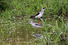 Common Greenshank (douwesvincent) Tags: nature uganda oeganda africa world earth eco natural outdoor safari wild open holiday trip birding explore green flora fauna life