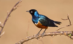 Starling (paolo_barbarini) Tags: storno starling uccello bird samburu kenya animal animale wildlife colors colori iridescente iridescence orange blue natura nature