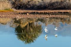 Little Egrets at La Charca (Eskling) Tags: charca lagoon lake little egret reflection palm water gran canaria canary islands maspalomas meloneras