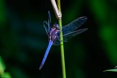 O. Glaucum - 102718 (r.rybicki) Tags: bug china dragonfly guangzhou southchinabotanicalgarden