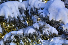 Snow laden blue spruce branches. Taken on 1-28-19, in Westminster, Colorado.  . . . . .  #CanonRebelT5 #Canon #Rebel #T5 F/11 38mm 1/60s ISO-100 #oooShiny #oooShinyPhotography #snow #bluespruce #branches #Westminster #Colorado #snowy #snowyday #branch #sp (oooshinyphotography) Tags: westminster bluespruce snowyday canonrebelt5 naturephotography branch trees coloradoshared coloradotography canon oooshiny colorado snowy spruce t5 coloradolove rebel treephotography nature tree branches coloradocreative coloradophotography oooshinyphotography treecaptures viewcolorado coloradophotographer snow coloradocollective