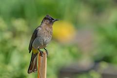 Трёхцветный бюльбюль, Pycnonotus tricolor, Dark-capped Bulbul (Oleg Nomad) Tags: трёхцветныйбюльбюль pycnonotustricolor darkcappedbulbul птицы африка юар bird aves sar africa