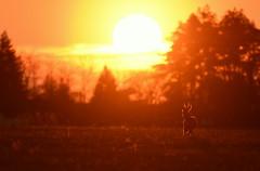 soleil couchant (Guillaume Dardant) Tags: nature sauvage animaux mammifères loiret d810 nikon 500mmf4 chevreuil brocard capreoluscapreolus cervidés roedeer affût