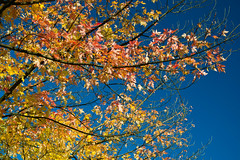 Autumn leaves (echumachenco) Tags: leaf foliage branch twig tree autumn autumncolors fall sky blue october red yellow