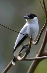 Black-crowned Tityra (anacm.silva) Tags: blackcrownedtityra bird wild wildlife nature natureza naturaleza birds aves bocatapada costarica ave tityrainquisitor
