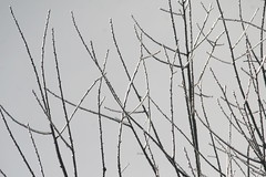 Encased in Ice (eyriel) Tags: tree treetop branch branches ice winter cold