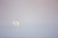 Schwan im Morgennebel (generalstussner) Tags: swan muteswan höckerschwan cygnusolor sonnenaufgang sunrise wildlife animal bird wasservogel nebel fog mist stimmung fluss wassercanon minimalistic