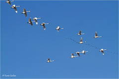 Flying the Friendly Skies (acadia_breeze4130) Tags: pennsylvania middlecreek wma birds tundraswans swans geese canadageese migration north nature naturephotography wildlife sky blue tamron eos karencarlson