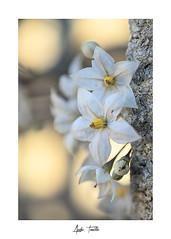 _DSC0213 (anahí tomillo) Tags: naturaleza nature nikond7500 flores flowers bokeh
