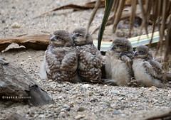 Young burrowing owls (Ineke Klaassen) Tags: burrowingowl athenecunicularia konijnuil kaninchenkauz burrowingowls konijnuilen uilen uil uiltjes photography sony sonya6000 sonyimages sonyalpha sonyalpha6000 sonyilce6000 ilce nature 10faves 10fav 1025fav 10favs animallife animalphotography animal burgerszoo burgersdesert zoo dierentuin 2550fav 25favs 25fav 25faves 800views