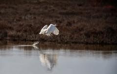Ardea alba - Great Egret (JLM62380) Tags: camargue grandeaigrette egret ardeaalba greategret oiseau eau water wood herb branche herbes animal vol flight rhône arbre