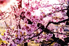 Spring (gusdiaz) Tags: peach blossoms flowers nature naturephotography trees arbol arboles retoños ramas branches fuji fujifilm xt2 sunrise sunny amanecer beautiful colorful splendor sun rays beauty primavera spring bokeh bokehlicious depthoffield