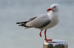 Gimpy Gull (David Hamments) Tags: flickrunitedaward highiso oneleg seagull bird gimpygull
