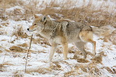 Hike It (RkyMtnGrl) Tags: wildlife nature coyote songdog trickster valley spring march estespark colorado 2019