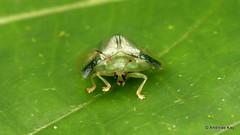Tortoise beetle, Cassidinae (Ecuador Megadiverso) Tags: andreaskay cassidinae chrysomelidae coleoptera ecuador id575 jardinbotanicolasorquideas leafbeetle mite tortoisebeetle