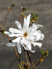 Magnolia in Nottingham (Andy Sut) Tags: macro england uk nottingham urban nature white flower magnolia lumix andysutton bridgecamera amateur