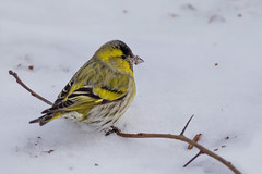 Чиж, Spinus spinus, Siskin (Oleg Nomad) Tags: чиж spinusspinus siskin птицы москва bird aves moscow