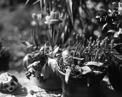 In the garden (Vidwatts) Tags: speedgraphic aeroektar acros100 d76 springflowers