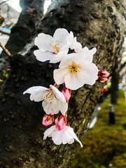 Japanese cherry blossom tree - Stock image (DigiPub) Tags: 日本 橫濱 櫻花 1138850476304201914 2019 blossom branchplantpart cherryblossom cherrytree day flower floweringplant hanami inbloom japan marchmonth nature nopeople orientalcherrytree outdoors partofaseries photography plant plantpart springtime takenonmobiledevice tree treetrunk vertical yokohama yoshinocherry