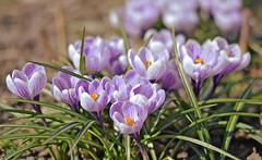 I'm moving to a new place (L.Lahtinen (nature photography)) Tags: finland spring crocuses springflower springtime bokeh dof naturephotography nature flora flowers beauty nikond3200 nikkor50mm kukat suomi kevät kevätkukat krookukset luonto