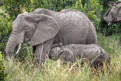 Hungry Ellie (helenehoffman) Tags: africa elephant conservationstatusvulnerable mammal loxodontaafricana kenya africanbushelephant maasaimaranationalreserve animal
