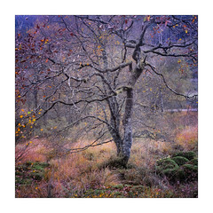Welsh Colour (gerainte1) Tags: hasselblad501 film portra400 colour trees woodland autumn wales snowdonia