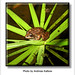 Andreas Kalbow Iberischer Wasserfrosch Rana perezi 2019 Madeira (7)