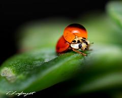 Ladybug... (Thiago Lafayet) Tags: lady ladybug insetos macro nikond3300 joaninha gota