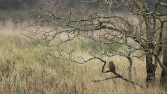 HIBOU DES MARAIS (yannls) Tags: asioflammeus owls hiboudesmarais bretagne marais morbihan bird shortearedowl