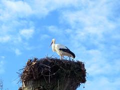 IMG_1623 winter stork (pinktigger) Tags: stork cigüeña storch cicogne ooievaar ciconiaciconia cicogna cegonha bird nature fagagna feagne friuli italy italia oasideiquadris animal outdoor nest winter sky clouds