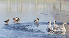 (andzwe) Tags: swans geese wak meppel winter frost vorst blowhole cold kou panasonicdmcgh4 netherlands nederland reflection