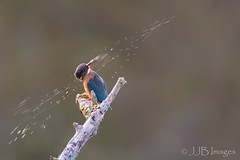 Kingfisher (JJB Images) Tags: beautiful birds canon canoneos6d countryside canonef600mmf4islens detail eos focus fuji image jjbimages lumix nikon nature natural pretty royalwoottonbassett wiltshire wildlife zoomed zoom